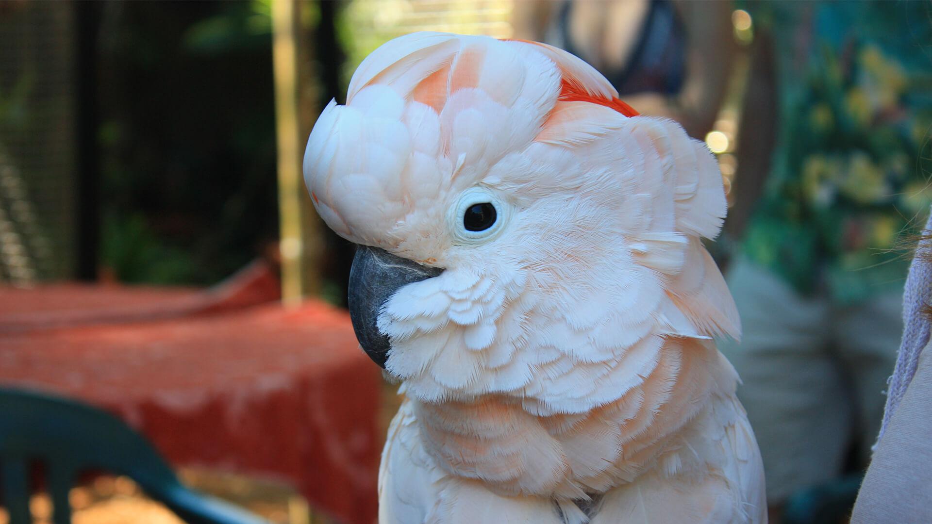 profile picture of a cockatoo
