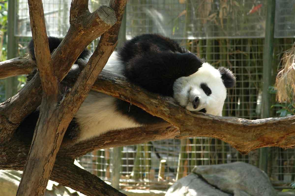 panda resting on tree at san diego zoo